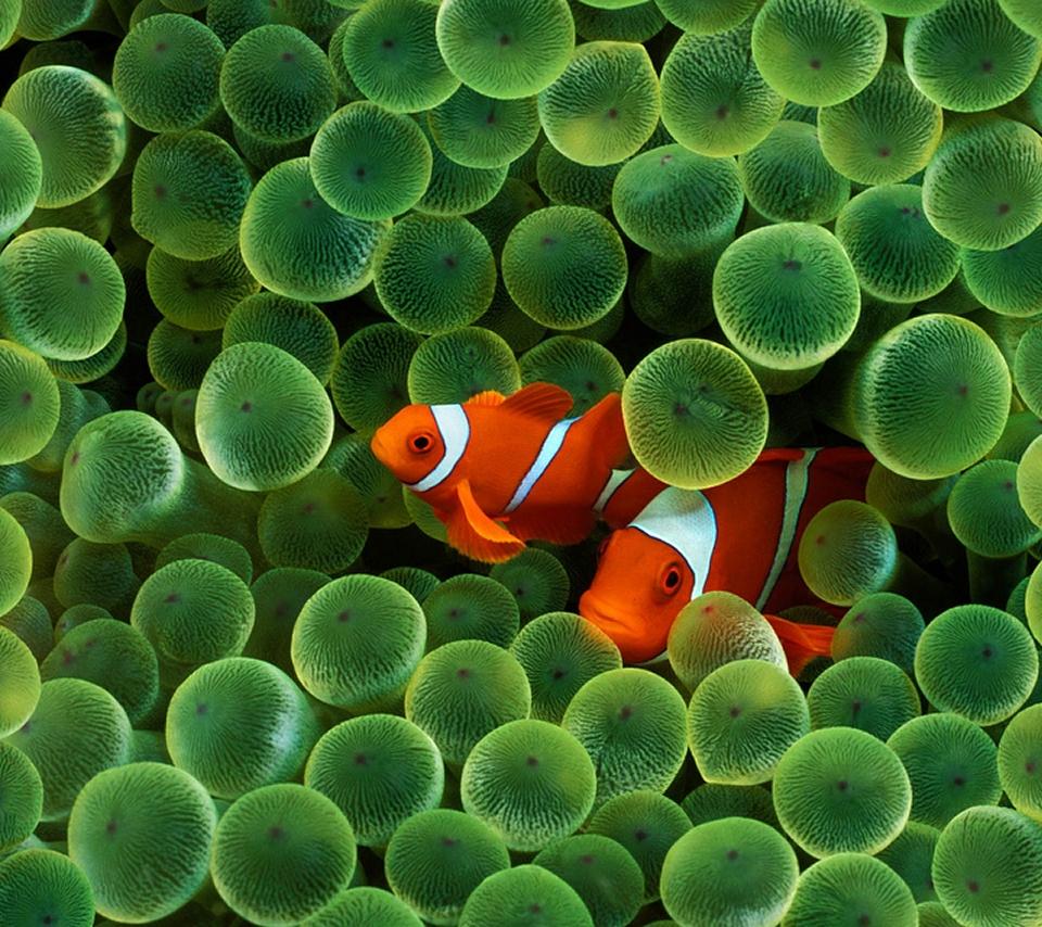 clownfish_960x854