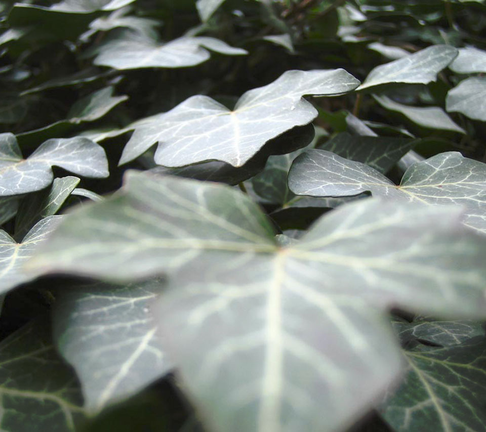 nature_ivy