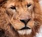 lion_960x854